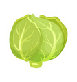 cartoon icon of green cabbage fresh vegetable vector image