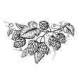 hand drawing of a branch of hops vector image vector image