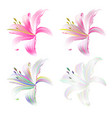 lily pink and multi colored lilium candidum vector image vector image