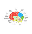 human brain anatomy card poster vector image vector image