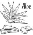 Aloe Vera Plant vector image vector image