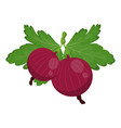 fresh red gooseberry isolated on white background vector image vector image