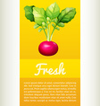 Poster design with fresh red radish vector image vector image