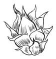 pitahaya on white background vector image vector image