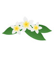 plumeria frangipani flowers with green leaves vector image vector image