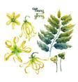 watercolor ylang ylang set vector image vector image