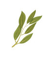 sprig of green bay leaves culinary herb spice vector image