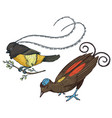small birds of paradise in indonesia and australia vector image vector image