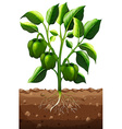 Green capsicum on the branch vector image