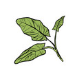 sorrel garden culinary plants spices isolate vector image