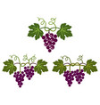 bunch grapes with leaves vector image vector image