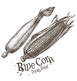 ripe corn logo design template fresh vector image
