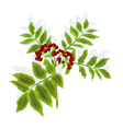 Twig rowan berry with leaves and berries vector image vector image