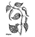 natural allspice botanical hand drawn sketch vector image vector image