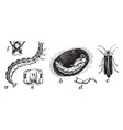 common eastern firefly vintage vector image vector image