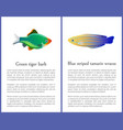 green tiger barb and blue striped tamarin fishes vector image vector image