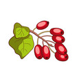 barberry isolated on white vector image vector image