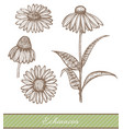 echinacea in hand drawn style vector image vector image