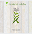 lemon verbena essential oil label aromatic plant vector image vector image