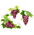 bunches of pink grapes vector image vector image