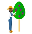 Farmer collecting grapes vector image vector image
