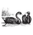 black swan vintage vector image vector image