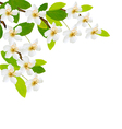 Spring background with white flowers vector image vector image