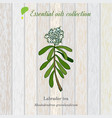 labrador tea essential oil label aromatic plant vector image vector image