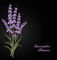 beautiful lavender flowers on black background vector image vector image