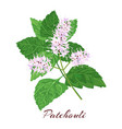patchouli known as pogostemon cablini vector image vector image