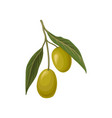 ripe green olives with leaves vector image