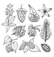 hop plant sketch in black and white vector image vector image