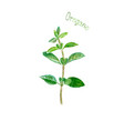 oregano herb spice isolated on white background vector image