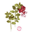hand drawn cowberry branch vector image vector image