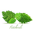 Patchouli leaves in realistic style
