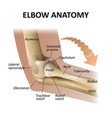 anatomy of the elbow joint medical education vector image vector image