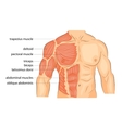 men s body arms shoulders chest and abs vector image vector image