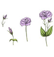 set with eustoma flowers bud vector image vector image