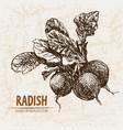 Digital detailed line art radish vegetable vector image