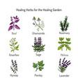 healing herbs set vector image vector image