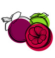 with asian mangosteen fruit vector image vector image