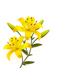 Flower Background With Yellow Beautiful Lilies vector image vector image