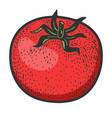 tomato vegetable sketch vector image