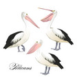 with graceful pelicans set vector image