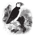 arctic puffin vintage vector image vector image