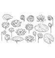 lotus sketch floral composition lotus flowers and vector image