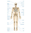 realistic human skeletal system infographics vector image vector image