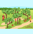 olives harvesting isometric poster vector image vector image