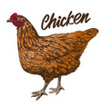 chicken hand drawn realistic vector image vector image