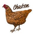chicken hand drawn realistic vector image